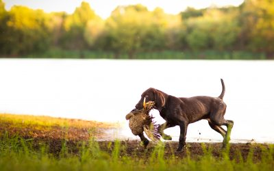 Establishing a Solid Foundation of Retrieving in Pups