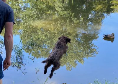 Cross Timber's Backwater Roux is a pup from our B litter (Kindle X VC High Life's V Zeke). She doesn't know how to enter the water any other way according to her owner. She is 11 wks old in the photo.