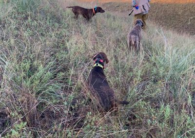 Cedarwood's Cowboy Oakley, UT I and VC High Life's V Zeke pointing a Sharptail Grouse and Cross Timber's Above and Beyond backing. 2020 in Nebraska