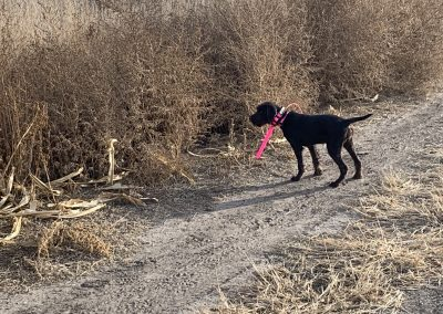 Cross Timber's American Fallon on a wild quail hunt before a year old in Kansas with her owners.